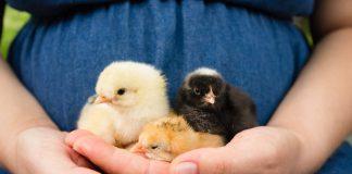Kycklinglever gravid